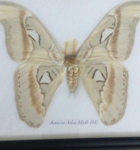 Бабочка Attacus atlas в рамке